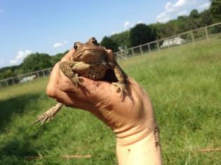 farm toad