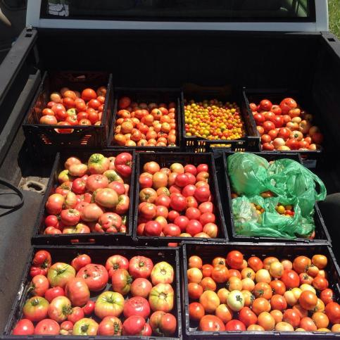 Tomatoes on their way to  Interfaith Food Shuttle
