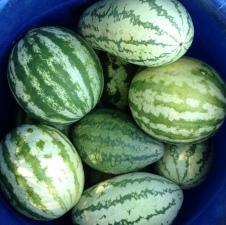 watermelon square