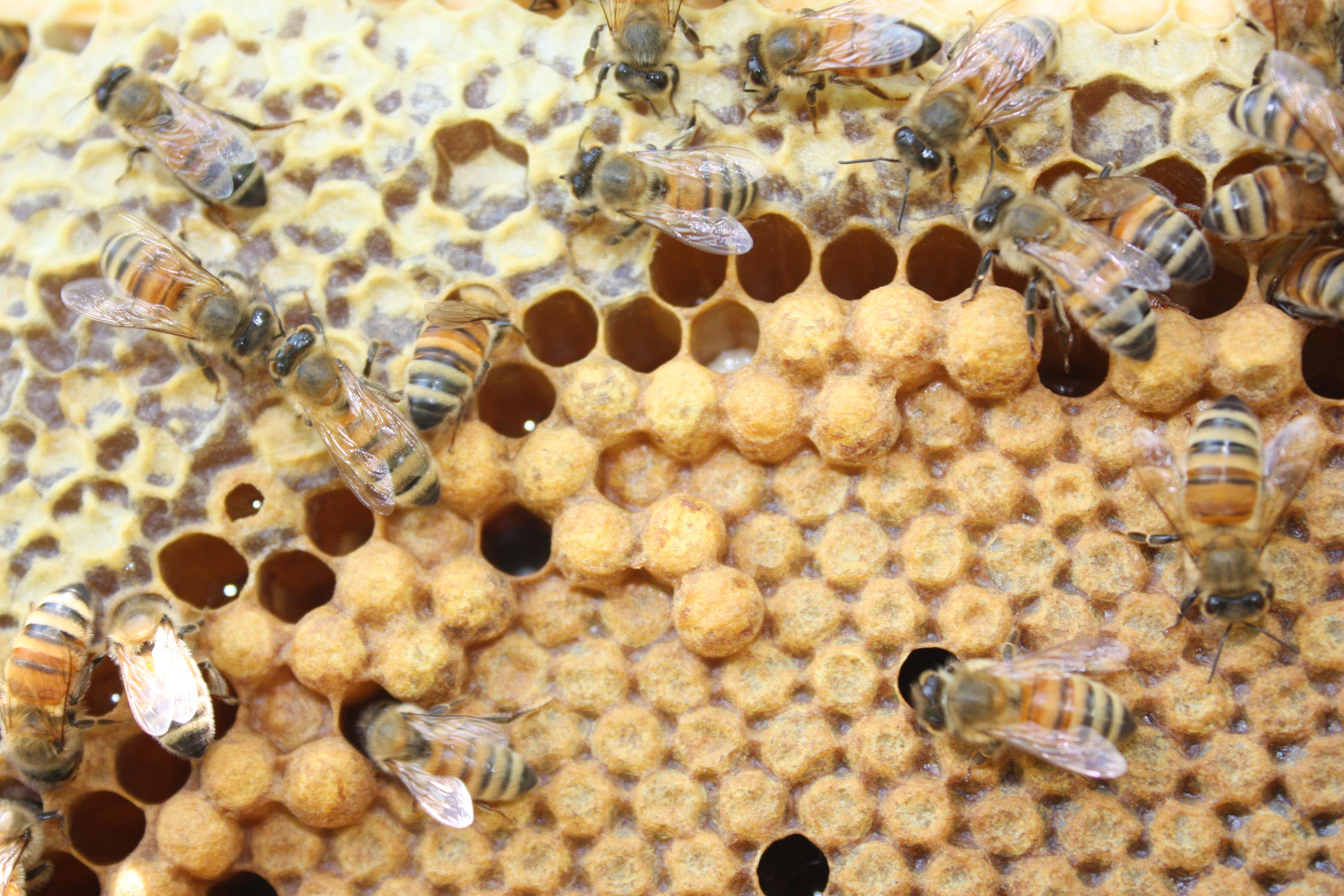 honey pollen brood