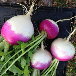 Purple Top White Globe turnips, a delicious 19th century heirloom.